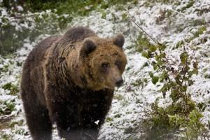 Brown bears in Transilvania